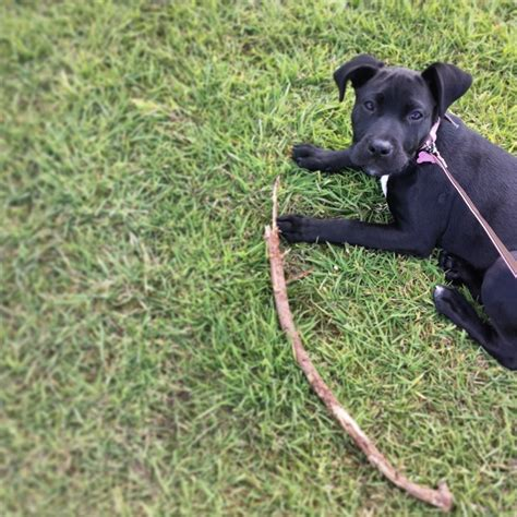 forever puppy for sale puppy for sale needs a forever home grantham lincolnshire pets4homes