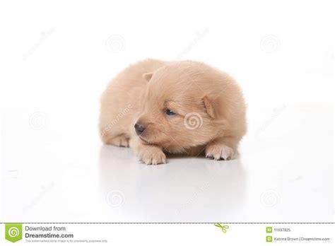 pomeranian newborn puppies pomeranian newborn puppy royalty free stock photo image 11697825