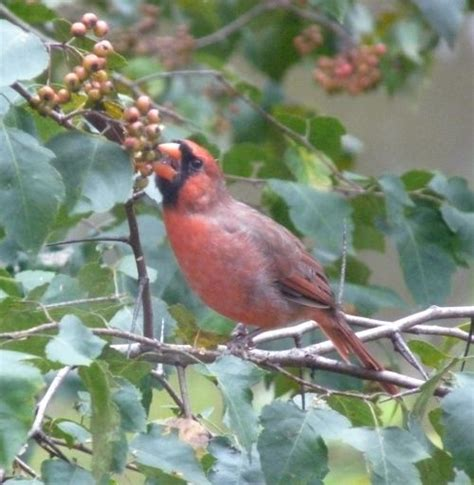 what do backyard birds eat birds cardinal eating hawthorn berry
