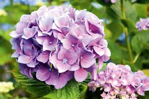 Purple Flowering Shrubs Australia - growing hydrangeas australian handyman magazine