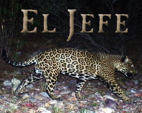 jaguar in arizona el jefe where you at southwest jaguars
