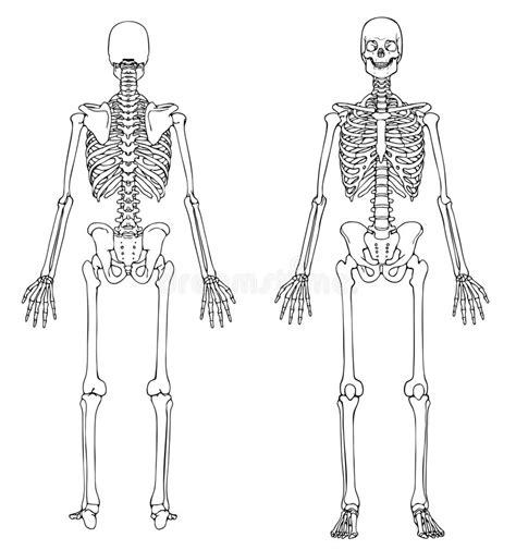 pelvis esqueleto humano frente cibertareas esqueleto humano frente y parte posterior ilustraci 243 n