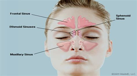 diagram of nose human nose www pixshark images galleries with a bite