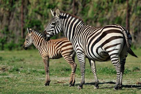 imagenes de animales cebra z 232 bre de grant r 233 serve africaine de sigean