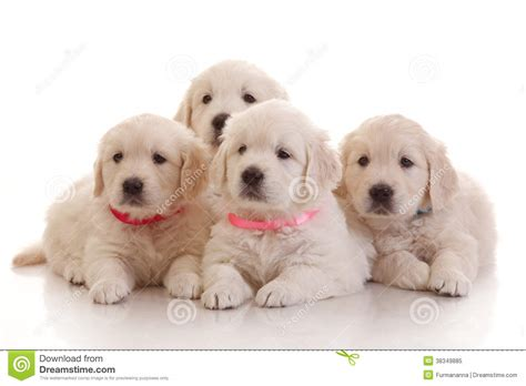 golden retriever puppies 1 month four one month puppies of golden retriever stock image image 38349885