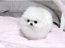 Tiny Pomeranians Are The Secret To World Peace   Humor ... Fluffiest Kittens In The World