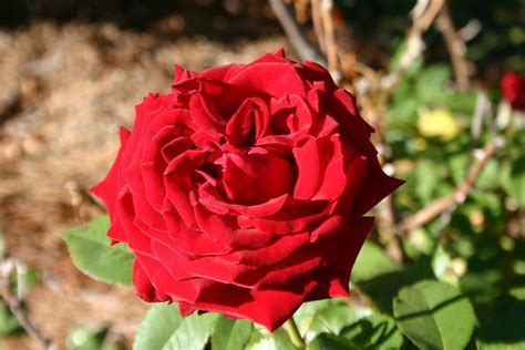 Ingrid Bergmann 2083 by Ingrid Bergmann Ingrid Bergman Rogue Valley Roses