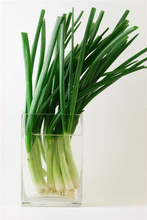 can you regrow green onions in water how to grow green