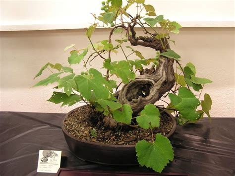 Cabernet Grapevine Bonsai It Or It by 114 Best Images About Bonsai Flowering Fruit On