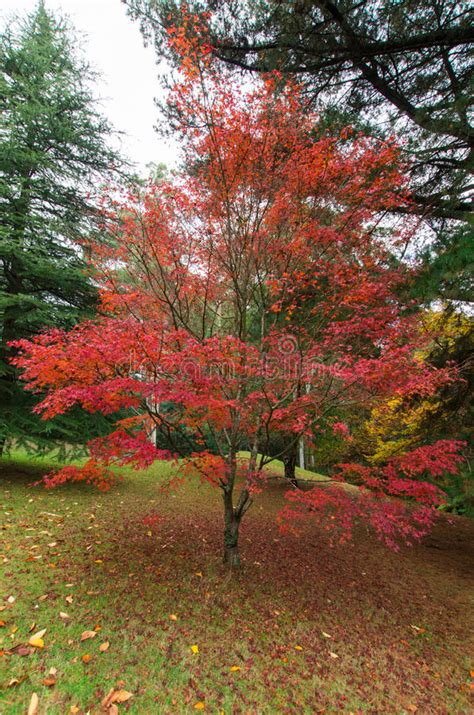 maple tree east japanese maple leaves in the dandenong ranges stock image image of australian autumn