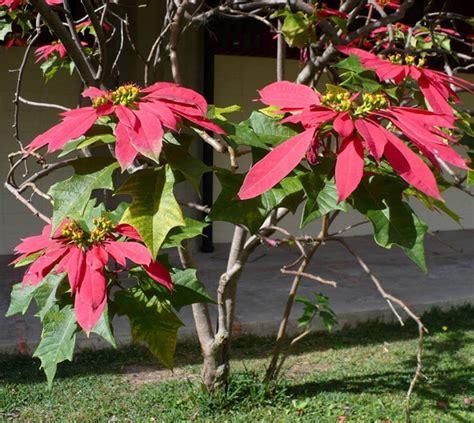 Tanaman Kastuba Lokal tanaman kastuba lokal poinsettia bibitbunga