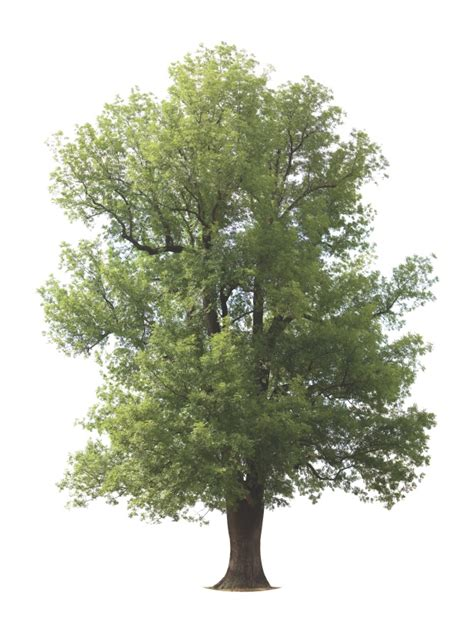 tree why why are ash trees threat how it works magazine