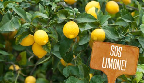 parassiti limone in vaso pianta limone come eliminare i parassiti leitv