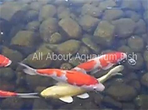 Koi Big Size 1 all about aquarium fish achieving koi growth