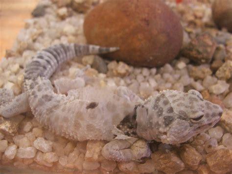 leopard gecko shedding skin 5 november 2005 flickr
