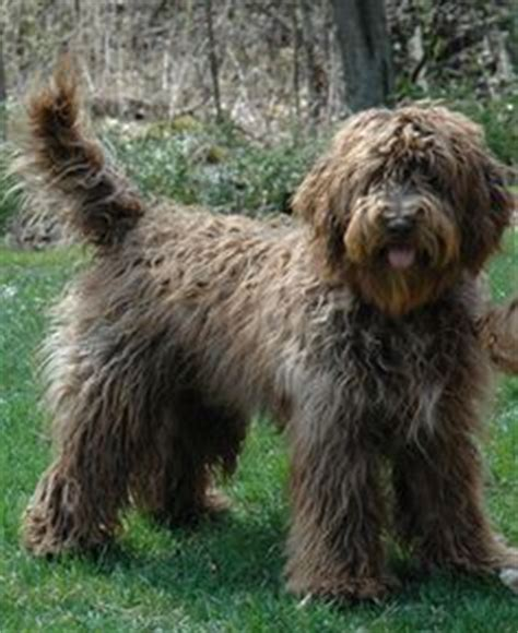 australian doodle puppies for sale ontario 1000 images about australian labradoodles on