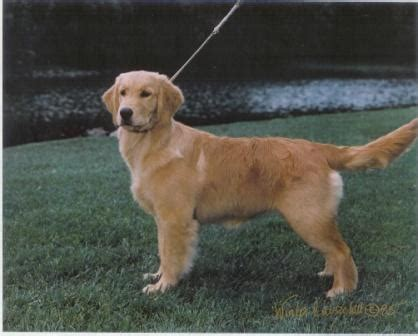 golden retrievers dallas dallas golden retriever breeders goldenwind goldens
