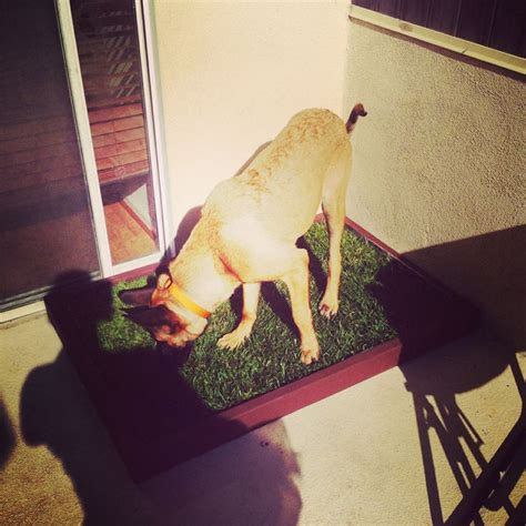 big dogs for apartments this his large potty patch from and