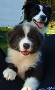 collie puppy pictures best 25 border collie pictures ideas on border collie puppies border