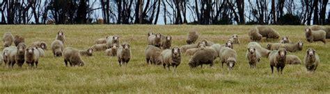austrailian sheep australian sheep resources for sheep and sheep farms