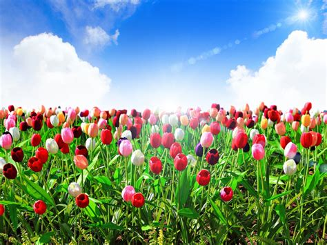 tai hinh nen dong dep h 236 nh nền c 225 nh đồng hoa tulip cho m 225 y t 237 nh
