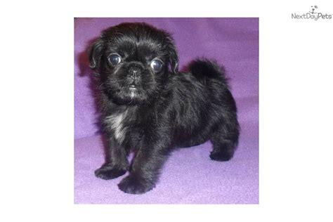 pug shitzu pug shih tzu mix puppy black breeds picture