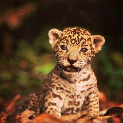 Baby Jaguar Baby Jaguar Animals