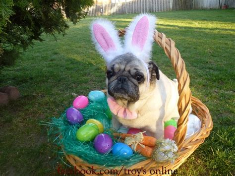 happy easter pug 17 best images about my best friends my pugs on pug pug and