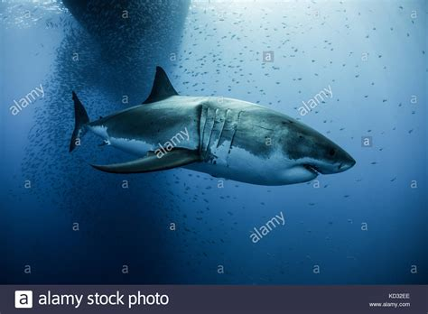 megalodon shark attacks boat megalodon shark stock photos megalodon shark stock