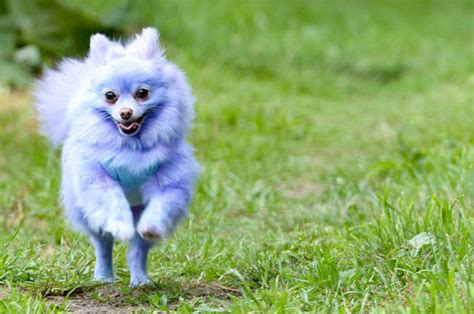 mad pomeranian pomeranian harvey moon earns 163 6 000 a year as an daily