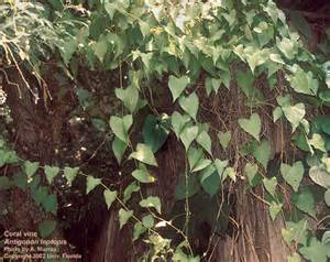Identifying Trees By Their Flowers - antigonon leptopus uf ifas center for aquatic and