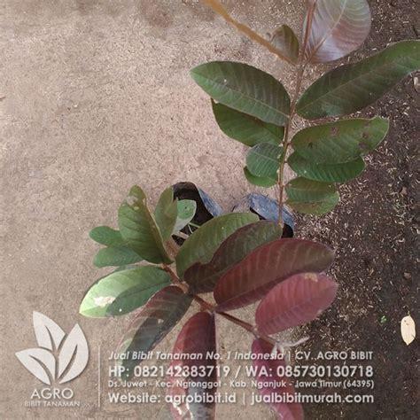 Bibit Buah Jambu Merah Australia 70 Cm jual bibit jambu biji ungu okulasi 40 cm agro bibit id