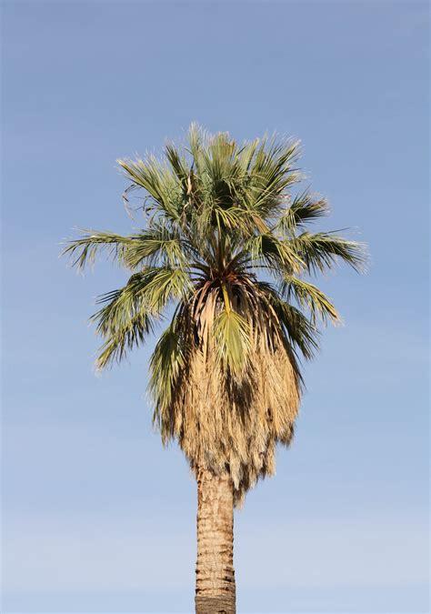 California Palm pin california fan palm on
