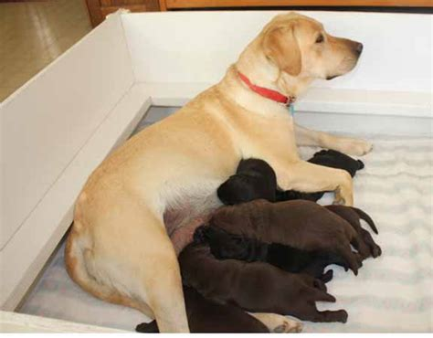 lab puppies for sale in az labrador retrievers for sale in arizona labs for sale in az labradors for