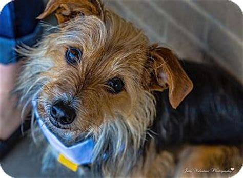 yorkie pudding mix pudding adopted fort worth tx yorkie terrier dachshund mix