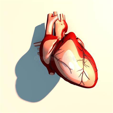 cuore e vasi il cuore 232 un organo muscolare pompa il sangue