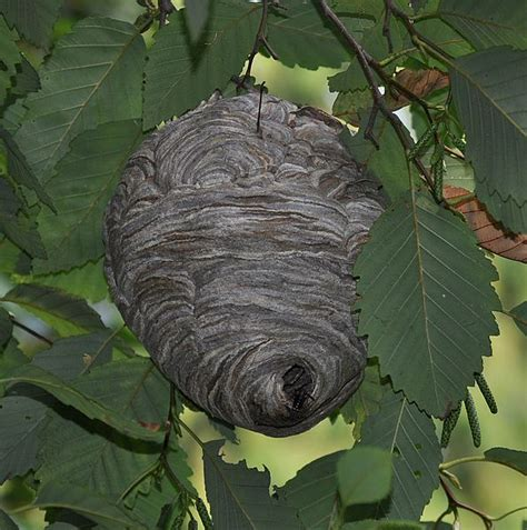 Jig006 To Survive Nature Yellow an introdction to paper wasp nests the infinite spider