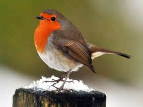 robin crowned as uk s national bird it s aggressive