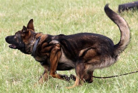 difference between doberman and rottweiler puppies difference between doberman and rottweiler breeds picture