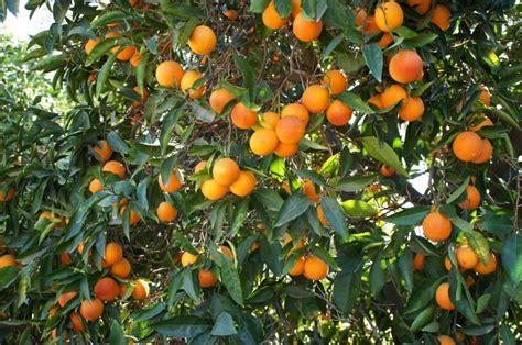 tree with small orange fruit orange trees orange and trees on