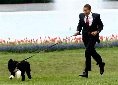 obama dogs bo obama photos photos the white house debuts the obamas new bo a portuguese