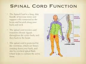 Spine Cushion Spinal Cord