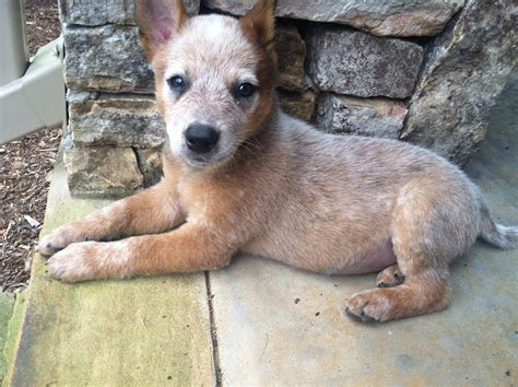 heeler puppies heeler puppy fluffy