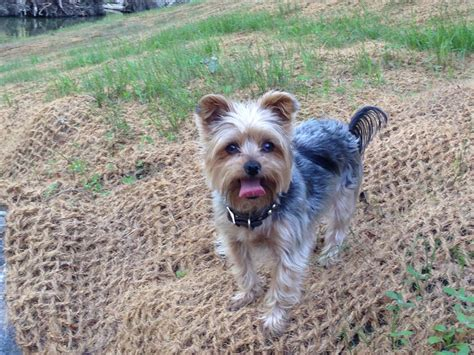 yorkie toronto lost missing terrier yorkie toronto on canada m5a 2c2 on january