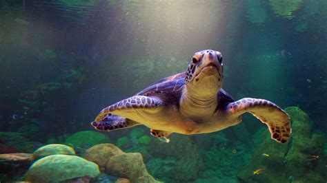 sea turtle live wallpaper free sea turtle wallpaper 4520 2560x1440 px hdwallsource