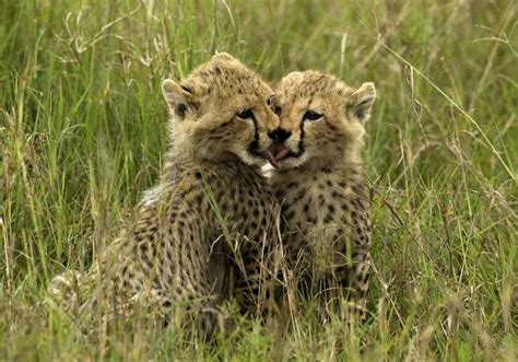 baby cheetah cub to become part of busch gardens cheetah 17 best images about baby cheetahs on pinterest zoos