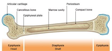 long bone cross section wikipedia picture peer review bone cross section wikipedia