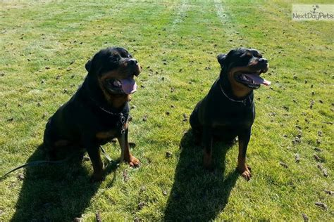 rottweiler puppies for sale reno nv rottweiler puppy for sale near reno tahoe nevada 83e7f217 2031