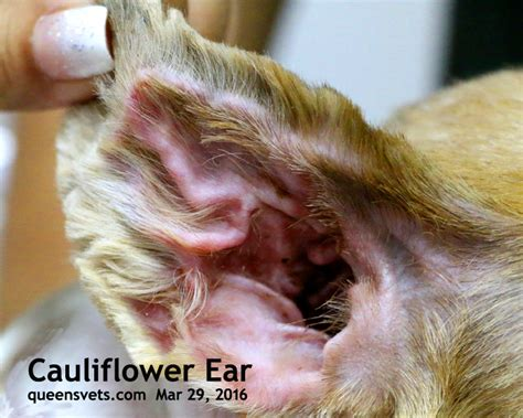 cauliflower ear in dogs veterinary medicine surgery singapore toa payoh vets dogs cats rabbits guinea