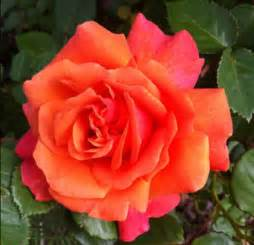 knockout roses colors easy does it